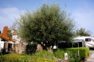Our olive tree is getting pruned today. it tends to get huge and shade out my garden beds in front.
