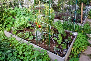 Vegetable bed #2 with bell peppers, dill, basil, radishes, red cabbage, cauliflower and snow peas.