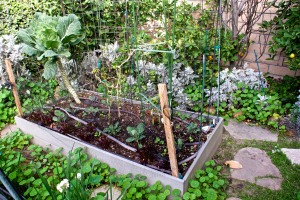 Raised vegetable bed #1, planted with collard greens, bell peppers, radishes, lettuce, cauliflower, red cabbage, and a couple of onions.