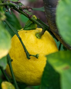 Citrus like this Meyer lemon don't need chill hours at all.