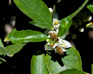 Bees are busy pollinating our lime trees, which are currently in bloom. The lemons and oranges aren't far behind the limes.