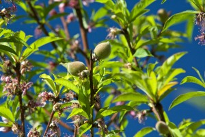 Our Florida Prince peach tree has nearly finished blooming, and is setting a good crop of peaches.