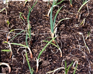 Onions are growing from tiny sprouts. They should be ready to harvest about July or August.
