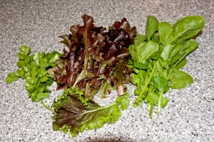Some of the cilantro, red-oakleaf lettuce, arugula, and red mustard that I harvested this week. It all went into a salad.