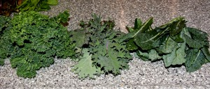 Some of the kale we are harvesting: left to right, Dwarf Blue Curled, a mystery red kale from the mesclun mix, and Lacinato (Dinosaur kale).