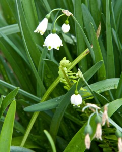 These snowdrops are nearly finished blooming. And the paperwhite narcissus were through blooming long ago.