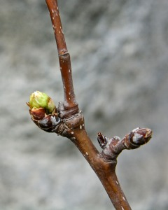 The first flower buds on my grafted Asian Pear tree show promise in this photo from Sunday. They opened up today.