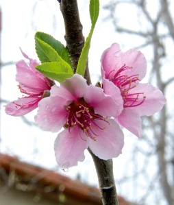 This semi-dwarf peach tree is supposed to be an August Pride, but since the peaches mature every May, I think it is a May Pride peach. At any rate, it didn't get many chill hours and produced only 19 blossoms this year.