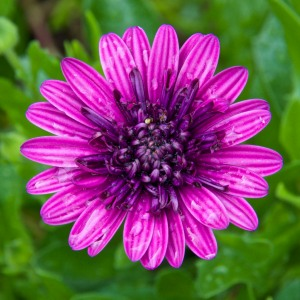 I have a couple of varieties of Osteospermum, aka Freeway Daisies. They are beautifully drought tolerant and bloom much of the year.