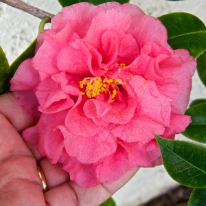 My camellias have never been prettier.