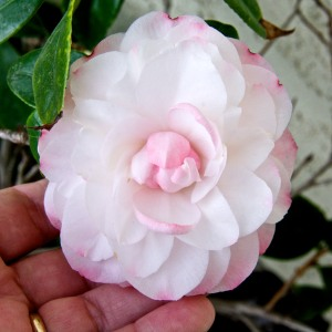 This camellia has more flowers on it than it has ever had before.