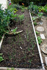 This is a long view of the raised veggie bed in front. Onions are in the foreground, then kale.