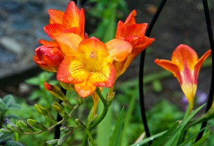 The freesias are in full bloom and so aromatic. Delightful sweet smell.