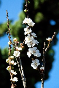 Our Katy Apricot tree was covered with blossoms. Or at least half the tree was.