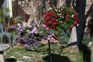 These were my beautiful flower baskets. Our four-day spell of 90 degree weather fried them.
