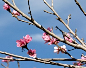 The Panamint nectarine is blooming now, but most branches have no blossoms on them. The poor Babcock Peach tree has only three blooms on it. Maybe more will open later. Hope so.
