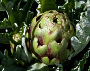 The artichokes are producing flower buds. It is always a challenge to know how long to wait before harvesting the bud. I will want to catch it well before it starts to open for the most tender flesh.