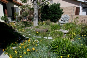 This is the non-vegetable garden part of the front yard. It is in full bloom in February-March, such a pretty time here.