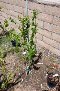 Among our newest trees are this tiny Pomegranate. Too soon for it to bloom. The tops of my two Fuyu persimmon trees died off and then sprouted from below the graft line, i.e., they are now American persimmons. I will dig them out and try again, this time with a potted persimmon instead of a bare root persimmon. I keep hoping.