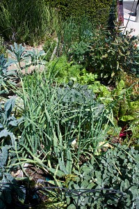 This is my front yard vegetable bed by the sidewalk. You are looking at the garlic end, with sage at the lower right.