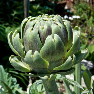 We have had a good artichoke harvest, but it is nearly over.