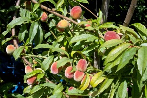 Our Florida Prince peach is LOADED with fruit, but most of it isn't quite ripe yet. Any day now, we will be inundated with sweet, delicious peaches.