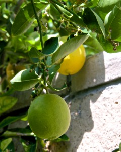 The Meyer lemon has several lemons left from last year, and is busy setting new fruit.
