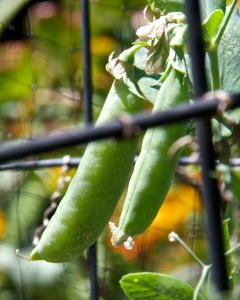 The back veggie beds are a mess. Better to show a close-up of sugar snap peas.