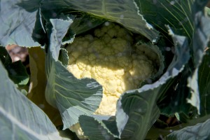 Here is a cauliflower head that is growing nicely. We won't speak of the other seven cauliflower plants which don't appear to be doing anything at all that is going to be useful. Kind of like my red cabbage--nothing looks like it is going to be harvestable there either.