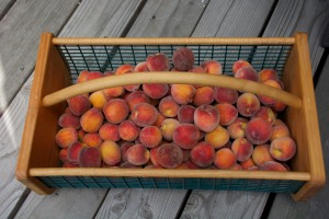 This was part of the harvest from our Florida Prince peach tree.