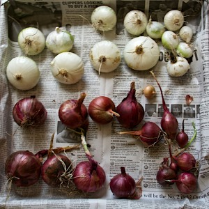 I have been harvesting and eating onions for some time now, but the tops of the remaining ones have died. Time to pull them and make room for something else.
