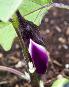 I am hoping for an eggplant soon. One little eggplant. Is that too much to ask?
