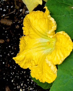 Male butternut blossoms were open yesterday.