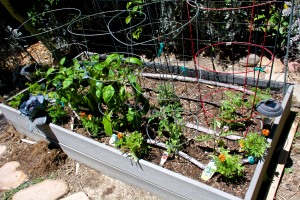I planted veggie bed #1 a few days ago. It has tomatoes, bell peppers, an old collard plant, and some cheerful marigolds.