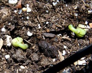 The pole beans have sprouted, but it will be quite a while before we get any beans. That is assuming that the birds don't get to the plants first. I have netting over the garden beds this year and that is helping.