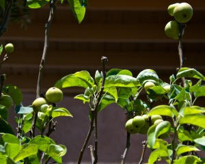 Our Asian pear trees are doing themselves proud this year, with a bumper crop of about 60-70 pears.