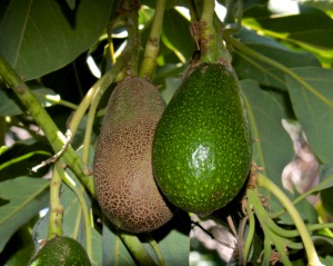 The avocado tree has set a record 60 avocados this year. Maybe we won't starve after all.