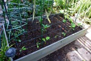 Newly planted veggie bed #3 on July 17, with transplanted tomatoes, bell peppers, and cucumbers, with mesclun, carrots and radishes from seed.