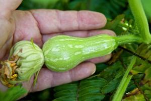 Hand-fertilized butternut squash on July 17.