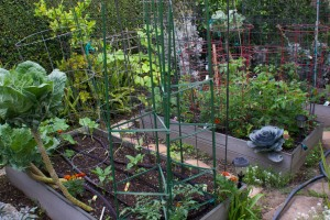 Here is veggie bed #3 in the foreground, with #2 and #1 in the background.