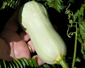 I have four Butternut squash that have set fruit. Three were hand-pollinated. There were male flowers open on the same day as the female flower for the fourth squash, so I let nature take its course. It appears to be pollinated, but I'm not positive yet. I don't see any more female flowers, so this may be my entire harvest, four Butternut squash.