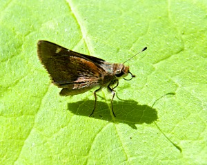 I think this is a Funeral Duskywing, but it might be a dark Fiery Skipper.