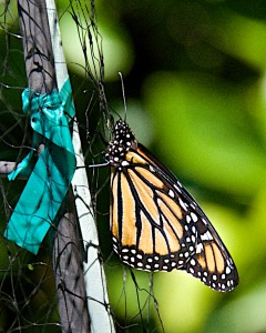 One of the many Monarchs in our yard.