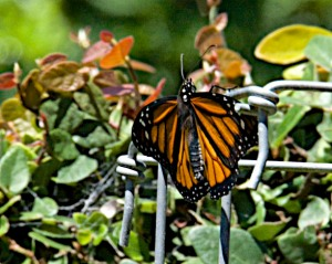 And here is a Monarch with its wings a bit more spread.