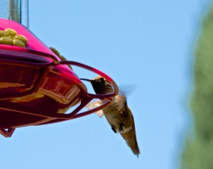 "The hummingbirds are very happy that I have finally cleaned and refilled the feeders for them. The male Allen's hummingbirds fight over the feeders. ""Mine""! ""No, mine, get away!"" Silly birds. There are three feeders, enough for everyone. They aren't into sharing."