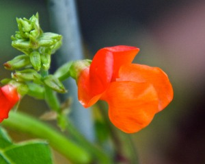 The scarlet runner beans are blooming nicely, but surprisingly, no beans have set yet.