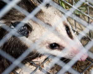 We battle constantly against the night critters, like this juvenile possum.