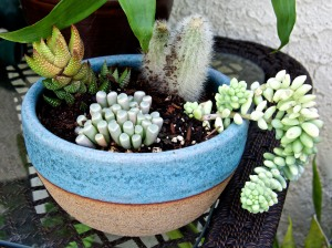 One solution to having a pretty garden during a drought is to grow succulents in colorful pots.