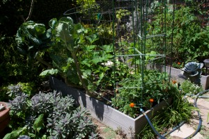 Veggie bed #3 has tomatoes, bell peppers, collards, zucchini, cucumbers, carrots, and radishes.