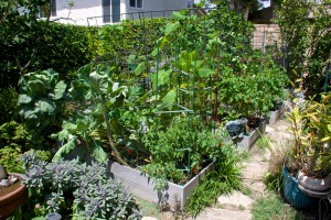 An overview of my three veggie beds in the back yard. They sure are looking lush. Too bad that there is nothing to harvest from them. Yet.